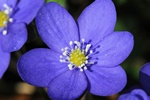 Bl anemone (Hepatica nobilis)